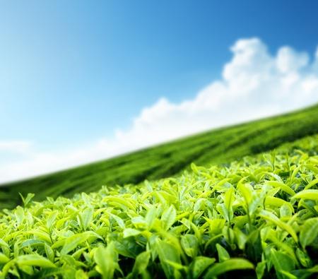 agricultural farm land: Tea plantation