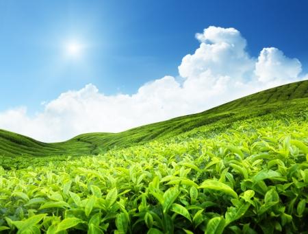 Plantation de thé  Banque d'images - 10766035