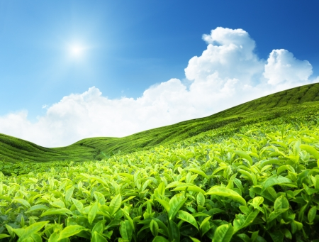 tea estates: Tea plantation