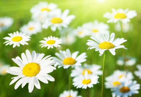 camomiles: field of daisy flowers