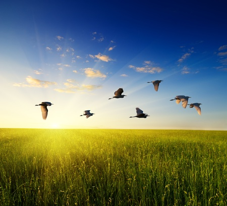 birds flying: field of grass and flying birds Stock Photo