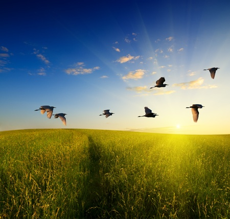 herons: field of grass and flying birds Stock Photo