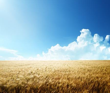wheat harvest: campo di orzo e giornata di sole Archivio Fotografico
