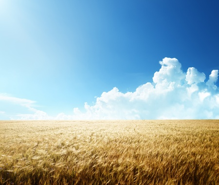 summer field: field of barley and sunny day