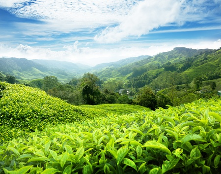 boh: Tea plantation Cameron highlands, Malaysia Stock Photo
