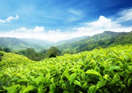 Thee plantage Cameron Highlands, Maleisië