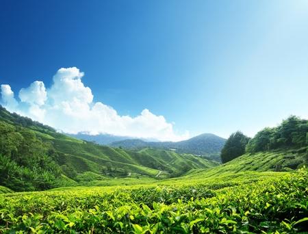 tea crop: Tea plantation Cameron highlands, Malaysia Stock Photo