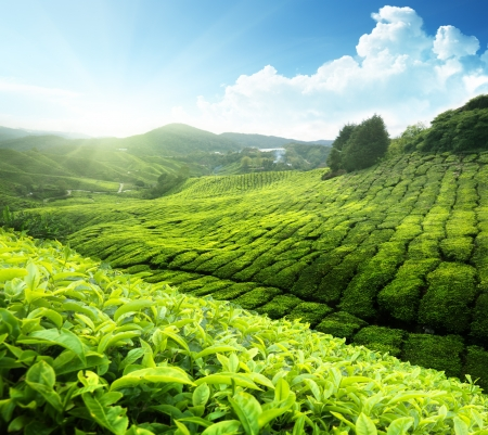 asia nature: Tea plantation Cameron highlands, Malaysia Stock Photo