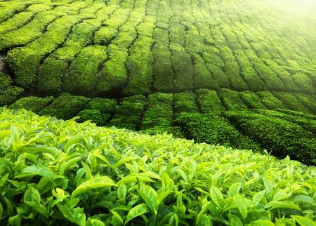 cameron: Tea plantation Cameron highlands, Malaysia Stock Photo