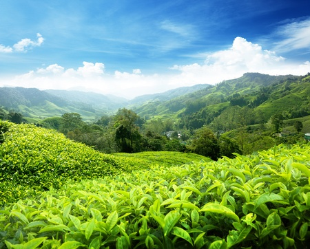 Tea plantation Cameron highlands, Malaysia Stock fotó