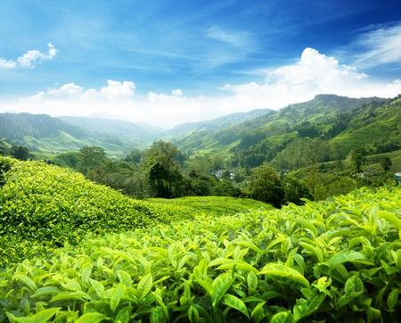 Thee plantage Cameron Highlands, Maleisië Stockfoto