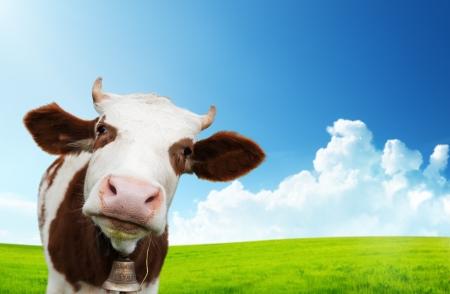 lacteos: la vaca y el campo de hierba fresca Foto de archivo