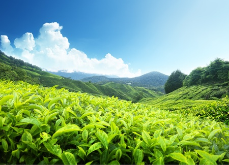 Tea plantation Cameron highlands, Malaysia Stock Photo - 11915191