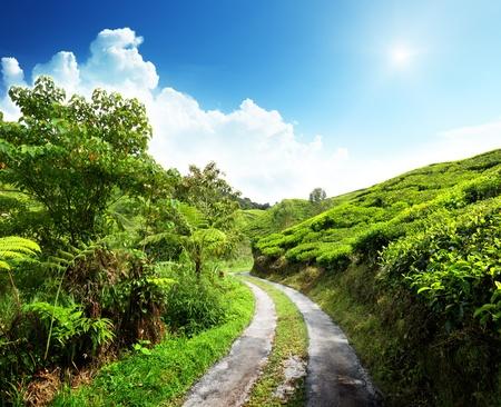 cameron: road and tea plantation Cameron highlands, Malaysia
