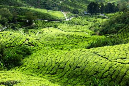 boh: Tea plantation Cameron highlands, Malaysia Stock Photo