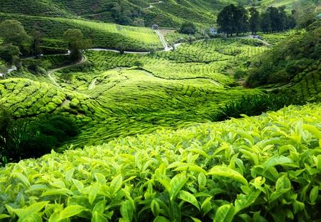 forest tea: Tea plantation Cameron highlands, Malaysia Stock Photo