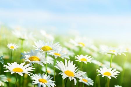 white daisy: field of daisy flowers