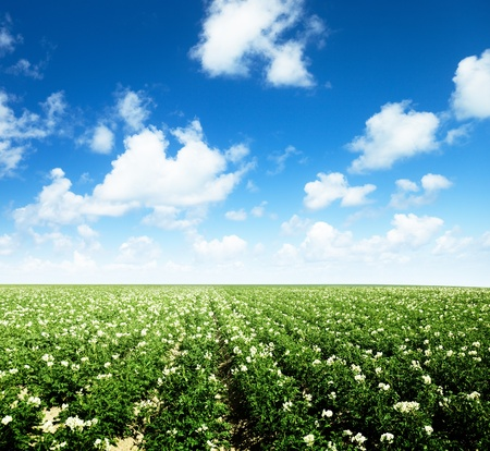 potatos field and sunny summer day Stock Photo - 12511425