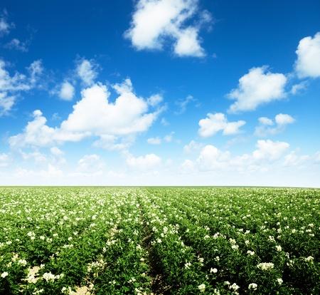 potato field: potatos field and sunny summer day