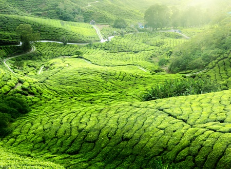 wood agricultural: Tea plantation Cameron highlands, Malaysia Stock Photo