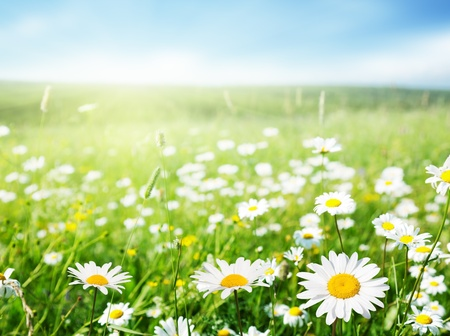 spring: field of daisy flowers