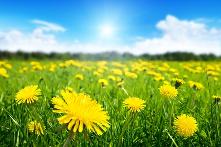 yellow wildflowers: Field of spring flowers and perfect sunny day