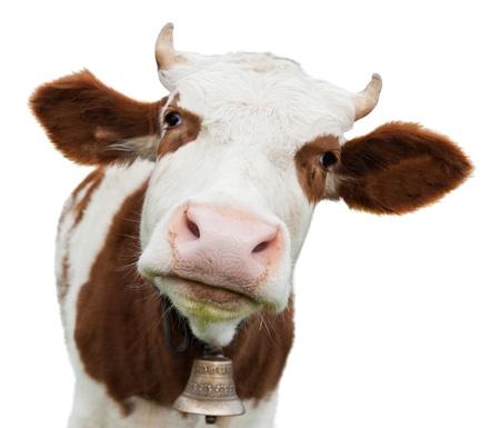 vee: jonge koe op wit wordt geïsoleerd Stockfoto