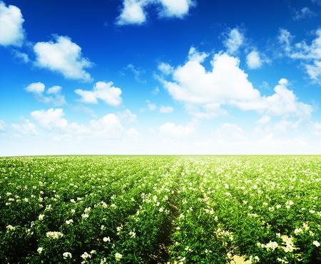 картофель: поле картофель и солнечный летний день