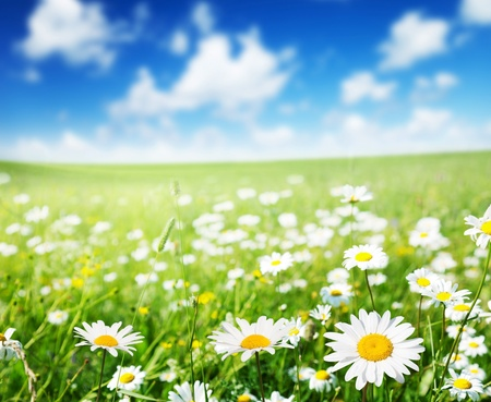 white with daisies: field of daisy flowers