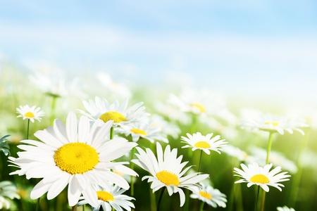 blue daisy: field of daisy flowers