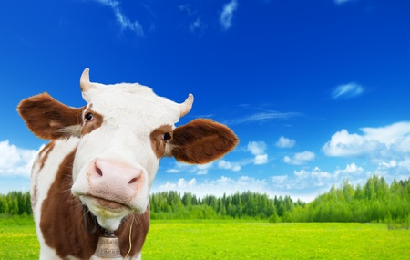 noses: cow and field of fresh grass Stock Photo