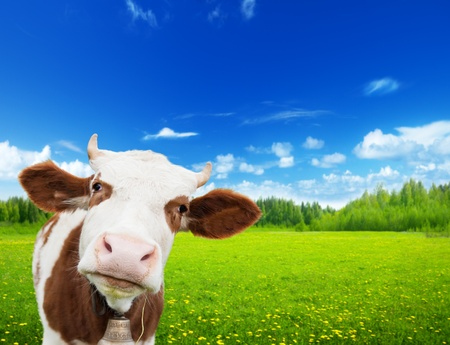 cow and field of fresh grass 스톡 콘텐츠
