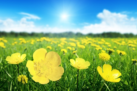 buttercup: Field of spring flowers and perfect sunny day