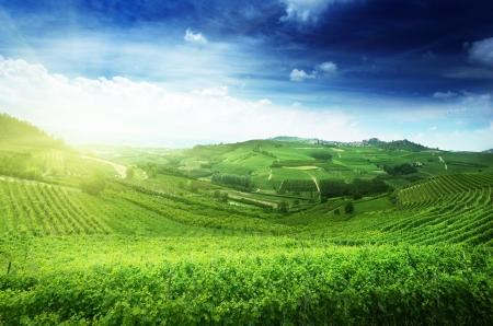 grape field: vineyards in Piedmont, Italy