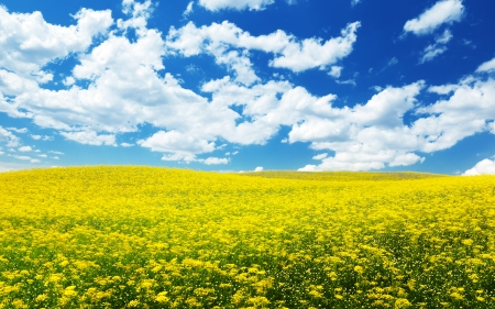 toscana: field with yellow flowers and blue sky Tuscany, Italy