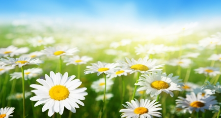 spring landscape: field of daisy flowers