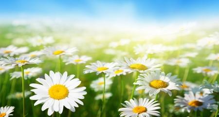 gebied van daisy bloemen