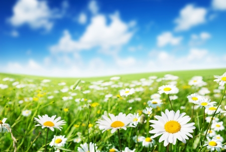 field of daisy flowers Stock Photo - 17477318