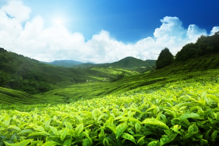 forest tea: Tea plantation Cameron highlands, Malaysia Stock Photo