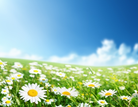 chamomile flower: field of daisy flowers