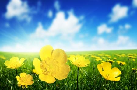 campo de margaritas: Campo de flores de la primavera y el d?soleado perfecto Foto de archivo