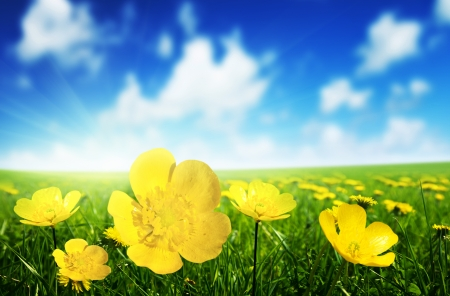 buttercup flower: Field of spring flowers and perfect sunny day