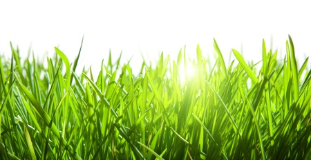 blades of grass: green grass isolated on white