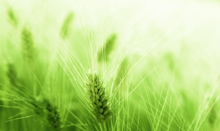 wheat grass: Wheat field