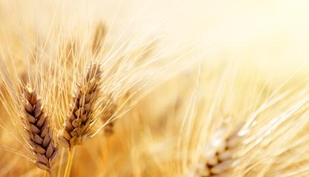 cereal ear: Wheat field