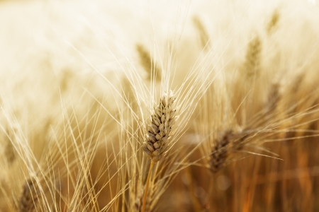 crop harvesting: Wheat field