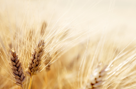 cebada: Campo de trigo Foto de archivo
