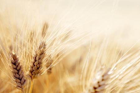 Wheat Harvest: Wheat field