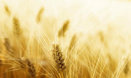 espigas: Campo de trigo Foto de archivo