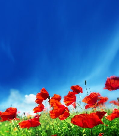 poppy flowers and sunny day photo